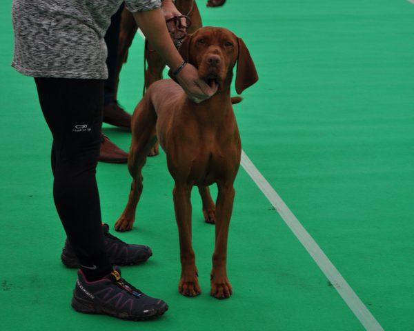 Vizsla hond