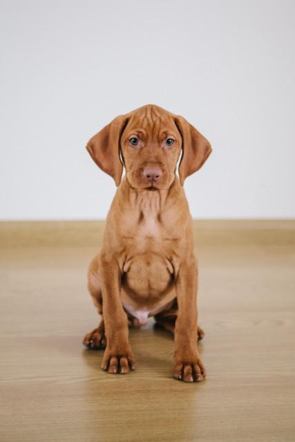Vizsla hond puppies
