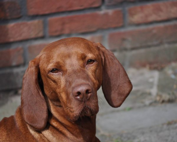 Vizsla korthaar kennel
