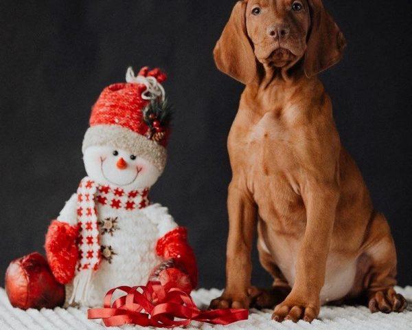 Otis-kennel-puppies-te-koop-hond