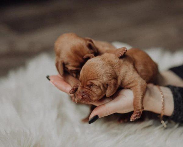 puppies-teef-HONDENKENNEL FAJTISZTA