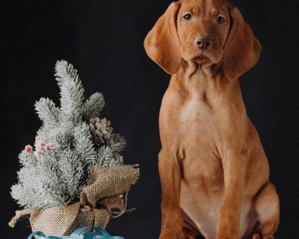 puppies-teef-HONDENKENNEL FAJTISZTA-lydia-staand